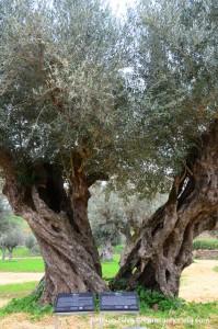 oliveiras_01